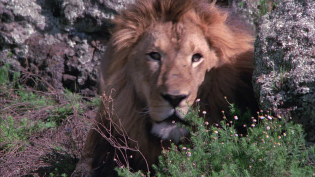 close angle of a lion laying down next to a large rock or boulder. lion yawns. - boulder rock stock-videos und b-roll-filmmaterial