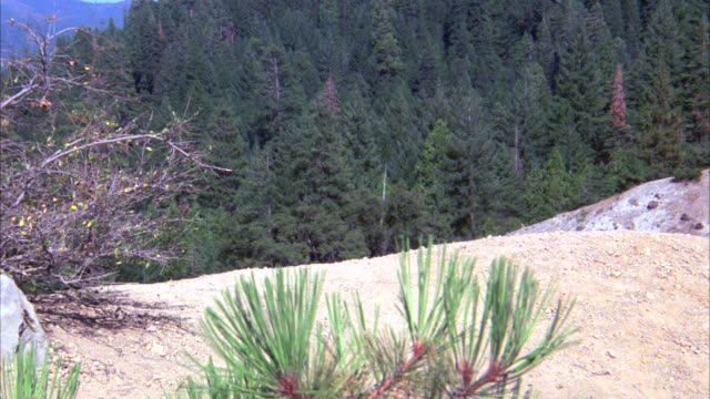 pan right to left of mountain lion running along dirt path on top of mountain. forest, mountains in bg. pine trees. - 1900 stock videos & royalty-free footage