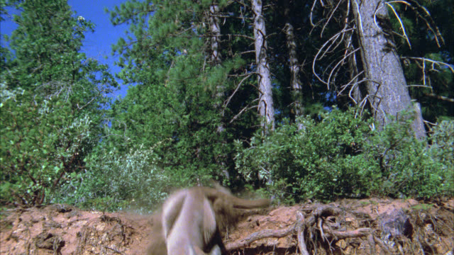 medium angle of a mountain lion jumping off of dirt hill. trees, forest in bg. - 1900 stock videos & royalty-free footage