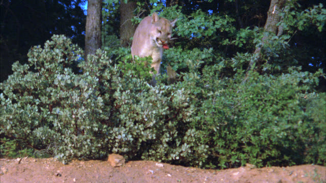 medium angle of a mountain lion standing on top of dirt hill surrounded by trees, plants, forest eating meat. - 1900 stock videos & royalty-free footage