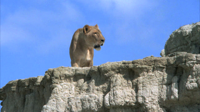 up angle of a lioness on top of a large rock or boulder. desert. - boulder rock stock-videos und b-roll-filmmaterial