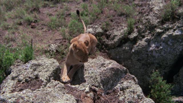 vidéos et rushes de high angle down of a lioness running down the side of a large rock or boulder. desert. - boulder rock