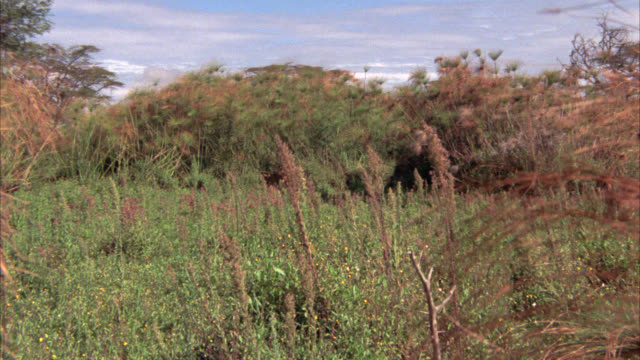 wide angle of lioness and male lion walking through field of high grass. could be meadow, savannah, or veldt. woods in bg. - prateria zona erbosa video stock e b–roll