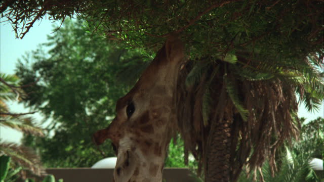 vídeos de stock, filmes e b-roll de close angle of giraffe eating, reaching for leaves in tree from tongue. los angeles zoo. - 1974