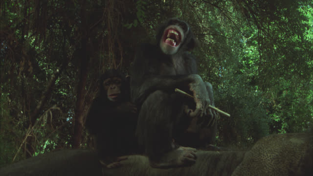 vidéos et rushes de medium angle of chimpanzees laughing and clapping. chimps with stick in hand, sitting on elephant. - chimpanzé