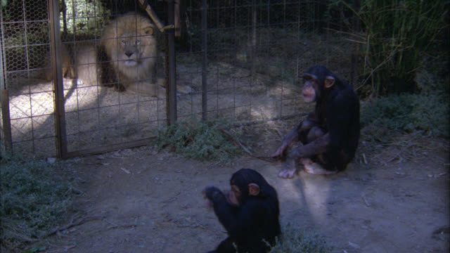 medium angle of chimpanzees standing outside a metal cage with lion in side. chimp climbs up side of cage then drops back down to the ground. jungles. apes. - anno 1938 video stock e b–roll