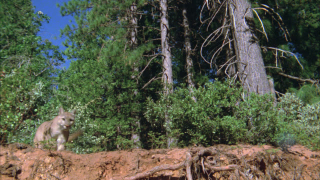 medium angle of a mountain lion running through forest, jumping off edge of dirt hill. forest, trees in bg. cougars. - 1900 stock videos & royalty-free footage