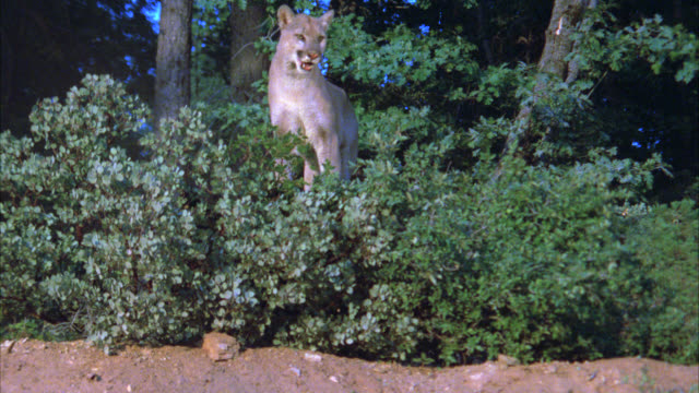 medium angle of a mountain lion standing on top of dirt hill surrounded by trees, plants, forest. dirt rises from ground, could be as if animal was being shot at or hunted. cougars. - 1900 stock videos & royalty-free footage