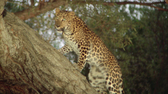 pan up following leopard or wild cat climbing or running up tree branch or trunk in jungle or forest. could be in southeast asia. - leopard stock videos & royalty-free footage