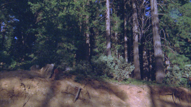 medium angle of lioness or mountain lion running through forest. pine trees. - 1900 stock videos & royalty-free footage