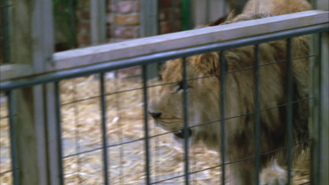 close angle of lion walking around in cage. wild animals. people watching in bg. - cage stock videos & royalty-free footage