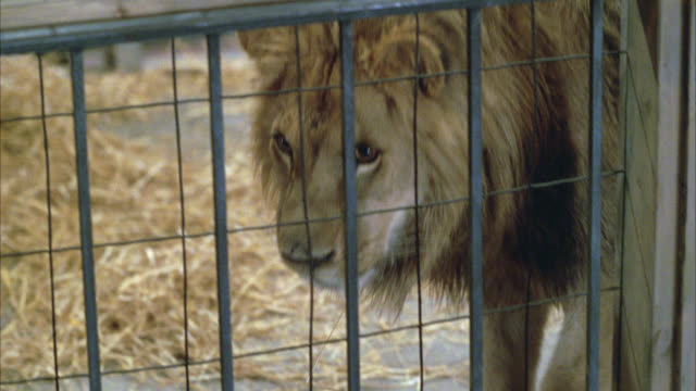 pan right to left of lion walking around in cage. wild animals. - cage stock videos & royalty-free footage