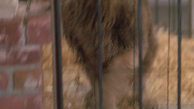 close angle of lion walking around in cage. wild animals. - cage stock videos & royalty-free footage