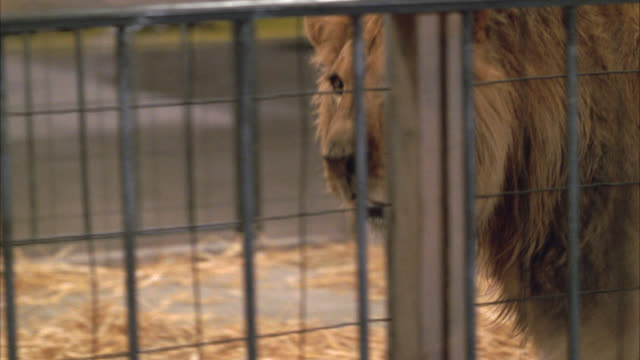 pan right to left following lion walking around in cage and then lying down. wild animals. - cage stock videos & royalty-free footage