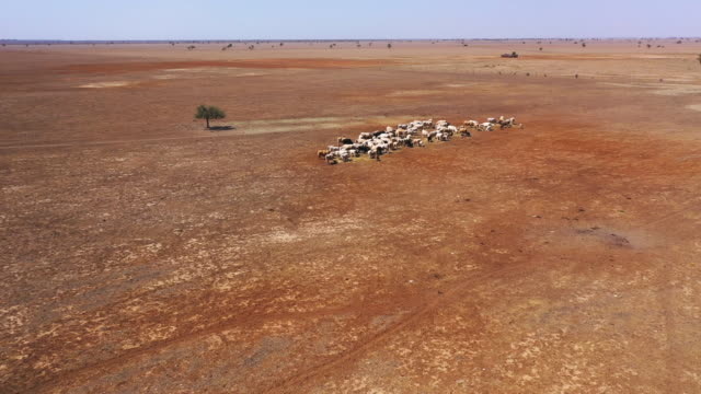 may mckeown gets out of her truck loaded with hay as she feeds the remaining cattle on her droughtaffected property of 'long view' on october 7... - 2010 2019 stock videos & royalty-free footage