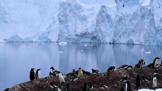 vidéos et rushes de wildlife antartica 4k - oiseau qui ne vole pas