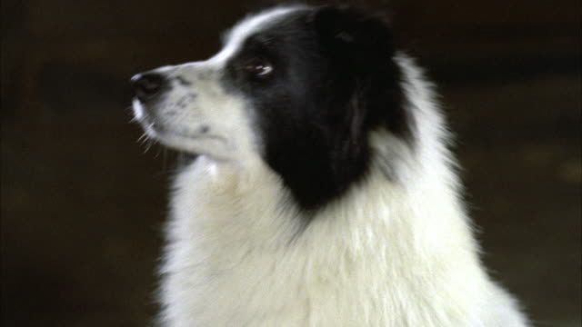 close shot of black and white dog border collie looking up at someone   turns head l-r and r-l and looks all around at his surrounding area / see handler trainer at times / multiple camera stops - border collie stock videos & royalty-free footage