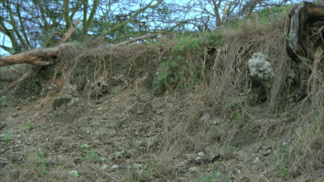 up angle of lion cubs run along embankment. - embankment stock videos & royalty-free footage