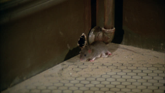 mouse on tile floor    sniffs around mouse trap neg cut see mouse hole in wall - rodent stock videos & royalty-free footage