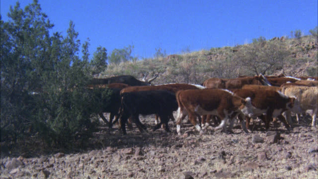 cam pans l-r to follow cattle / cattle drive / old west - cattle drive stock videos & royalty-free footage