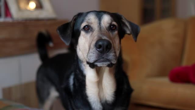 vídeos de stock, filmes e b-roll de dog barking a camera asking for something - latindo