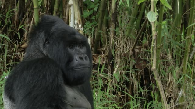 uganda is one of only three countries in the world where you can find mountain gorillas video has tourists trekking the mountain looking at these... - endangered species stock videos & royalty-free footage