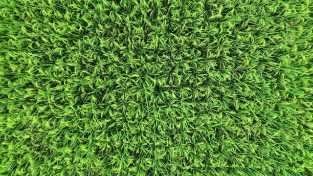 無人機拍攝從綠色稻田慢慢升空的鏡頭 - tonad bild bildbanksvideor och videomaterial från bakom kulisserna