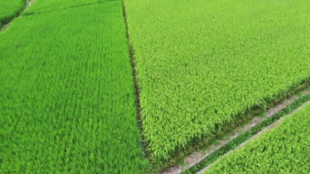 無人機拍攝從綠色稻田道天際的鏡頭 - tonad bild bildbanksvideor och videomaterial från bakom kulisserna