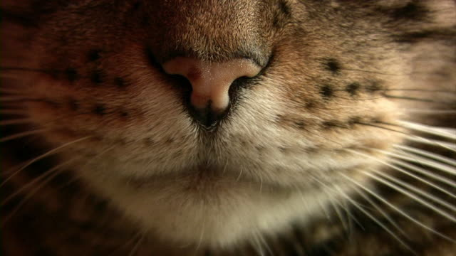 meowing videos and b roll footage getty images