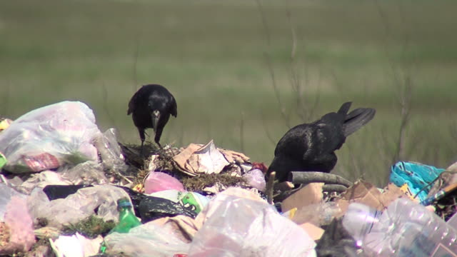 black crows fighting over garbage - garbage stock videos & royalty-free footage