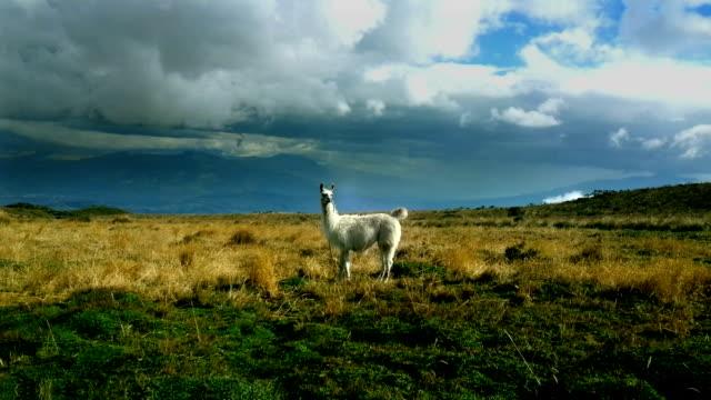 stockvideo's en b-roll-footage met llama en el valle pichincha - ecuador