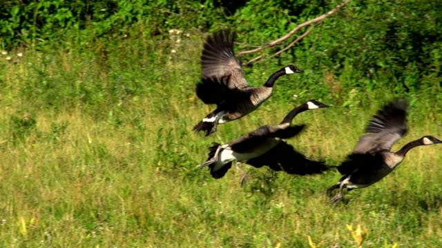 slow motion canada goose take off 240fps - goose stock videos & royalty-free footage
