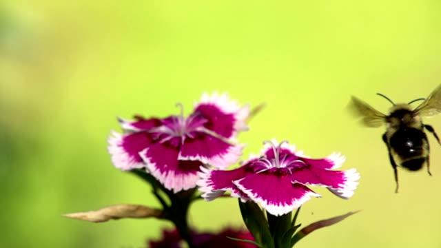 honey bee passes by flower (240 fps) - keithmckenzie stock videos & royalty-free footage