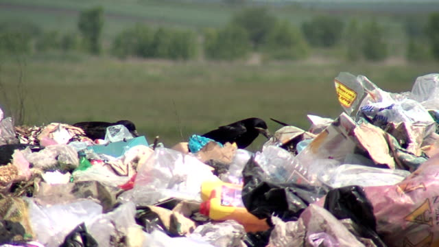 BLACK CROWS FIGHTING OVER GARBAGE