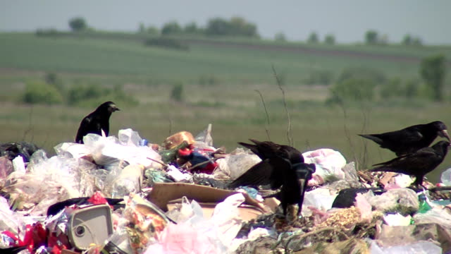 black crows fighting over garbage - rubbish dump stock videos & royalty-free footage