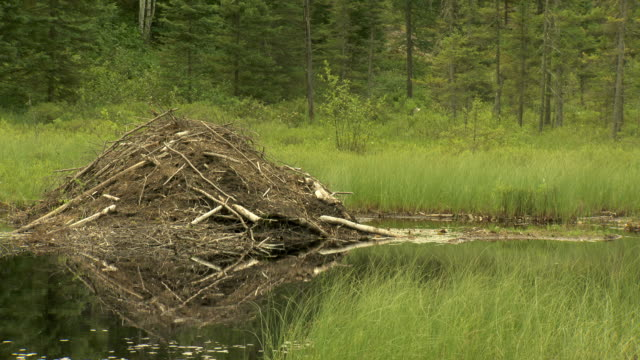 beaver lodge - beaver stock videos & royalty-free footage