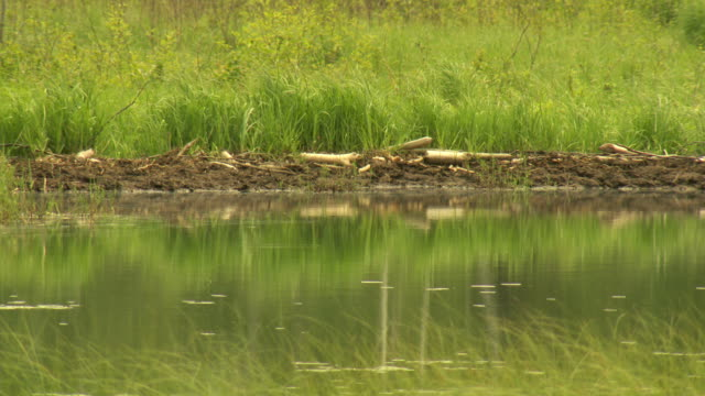 beaver dam - beaver dam stock videos and b-roll footage