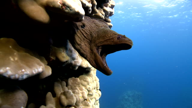 moray eel and coral 2 - moray eel stock videos and b-roll footage