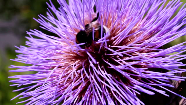 stockvideo's en b-roll-footage met thistle flower with bumble bee - death valley national park
