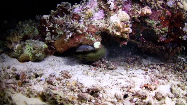 moray eel eat fish - moray eel stock videos & royalty-free footage
