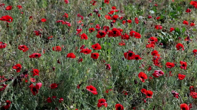 red poppies in grass - sevastopol crimea stock videos and b-roll footage