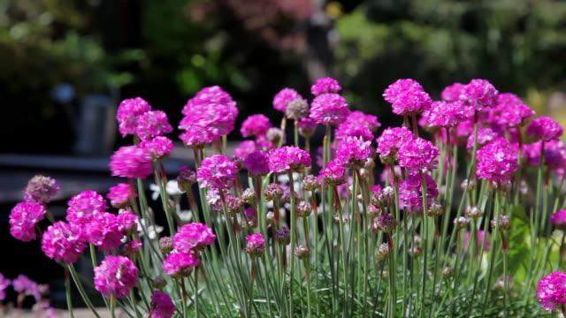 vídeos y material grabado en eventos de stock de pink thrift armeria pseudarmeria flowers - scarborough reino unido
