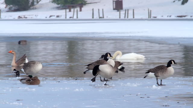 canadian geese branta canadensis and mute swan cygnus olor on frozen lake - mute swan stock videos & royalty-free footage
