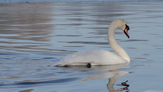 mute swan cygnus olor adjusts feathers - mute swan stock videos & royalty-free footage