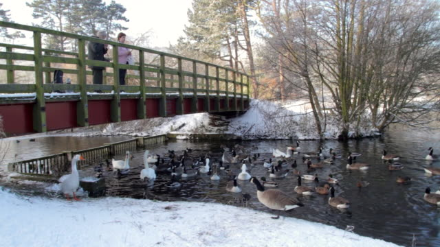stockvideo's en b-roll-footage met feeding geese swans ducks weaponness valley mere scarborough - scarborough engeland