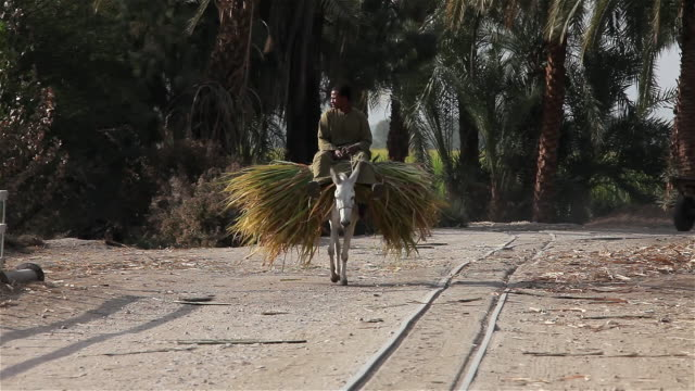 vidéos et rushes de man riding donkey carrying sugar cane - baudet