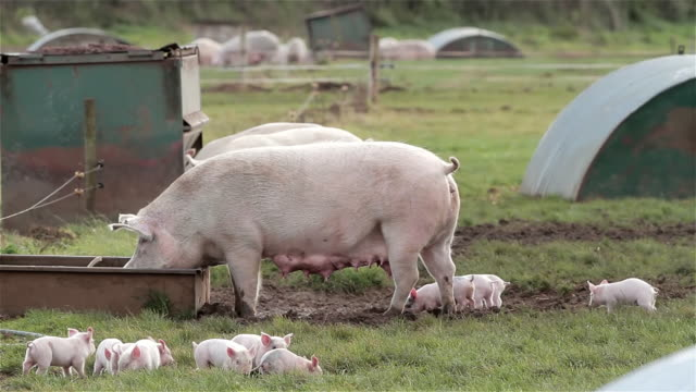 stockvideo's en b-roll-footage met mother sow with piglets pigs - varken