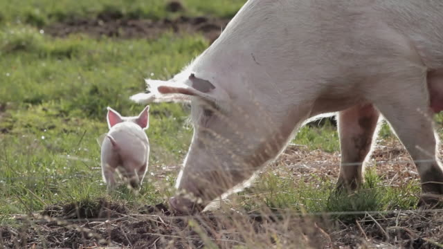 vídeos de stock e filmes b-roll de mother sow with piglets pigs - porco