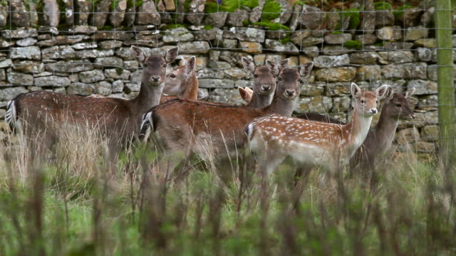 vídeos de stock, filmes e b-roll de doe and fawn fallow deer - corça