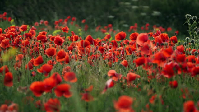 poppy flower fields - field stock videos & royalty-free footage